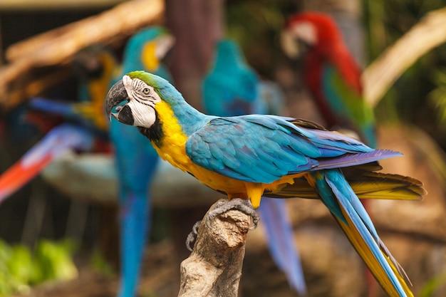 Macaw vögel