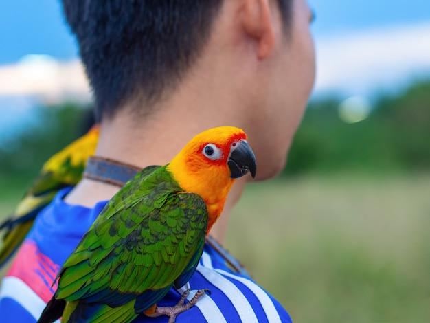 Macore bird schöner vogelpapagei, der mit haustierbetreuung auf anziehender schulter spielt.