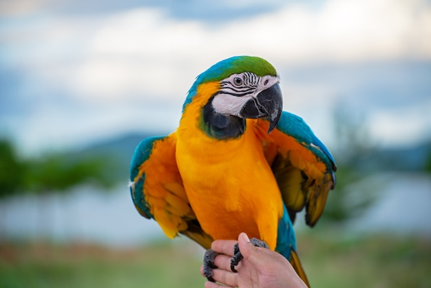 Macore vogel schöner vogelpapagei, der mit haustierpflege auf ihren händen bei asien thailad spielt.