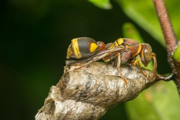 Macro of hymenoptera ist eine große ordnung von insekten, die die sägewellen umfasst