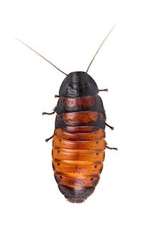 Madagaskar zischende kakerlake isoliert. gromphadorhina portentosa
