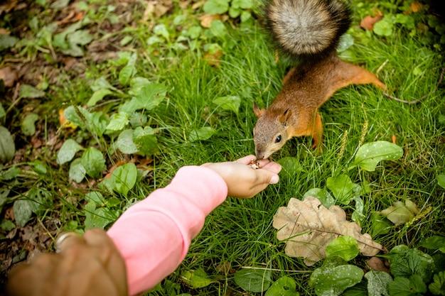 Mädchen, das eichhörnchen im herbstpark füttert. kind, das wildes tier im herbstwald mit goldenen eichen- und ahornblättern beobachtet.