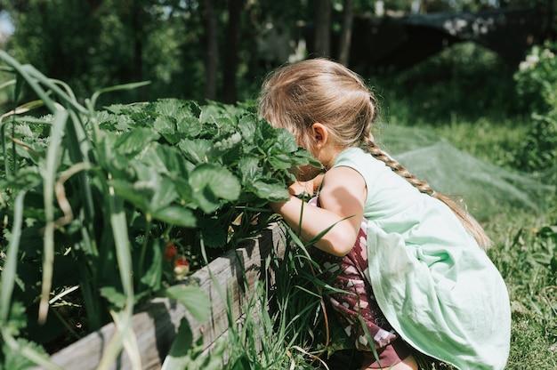 Mädchen, das reife erdbeeren in der sommersaison auf bio-erdbeerfarm pflückt