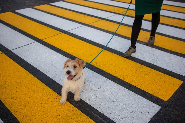 Mädchen mit jack russell terrier, das den fußgängerüberweg entlang geht