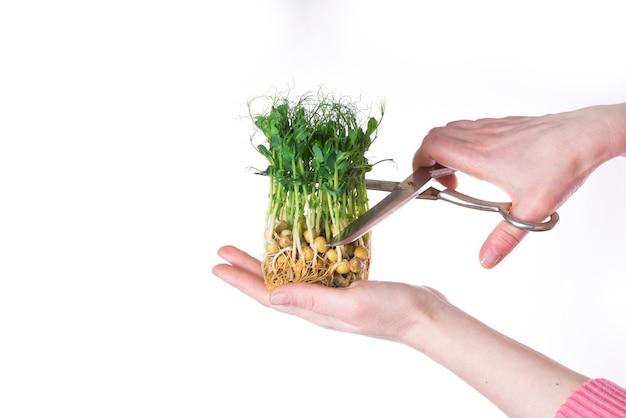 Mädchen schneidet junge sprossen von microgreens von grünen erbsen mit einer schere auf weißem hintergrund