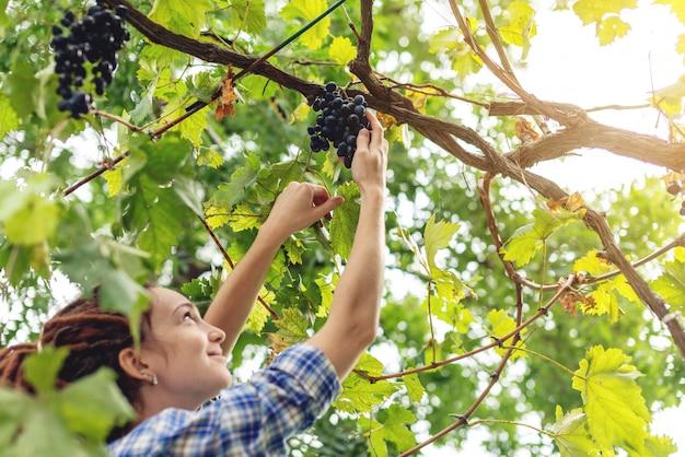Mädchen winemaker, der gruppen von roten trauben des merlots im weinberg erntet