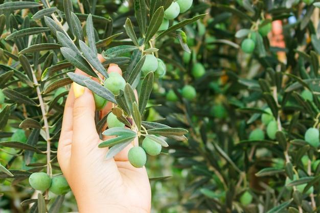 Mädchenhand, die grüne junge olive im garten hält