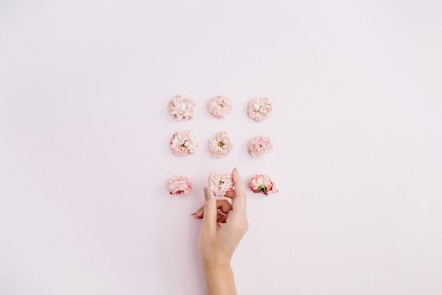 Mädchenhand, die rosa trockene rosenknospen auf rosa hält
