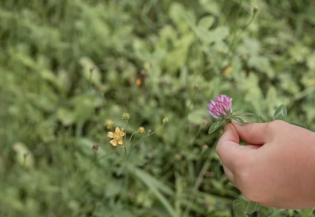 Mädchenhand, die violette kleeblume über grünem verschwommenem gras im sommerexemplar für text hält
