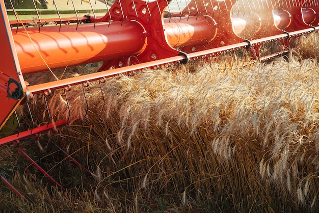 Mähdrescher ernten reifen weizen. reife ohren des goldfeldes auf dem sonnenuntergang bewölkten orange himmelhintergrund. . konzept einer reichen ernte. landwirtschaftsbild