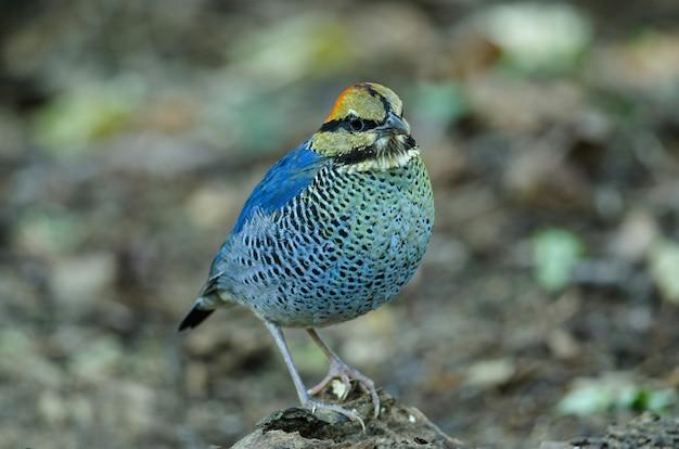 Männchen der blauen pitta (pitta cyanea)