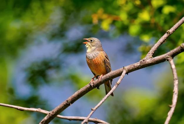 Männchen der ortolan (emberiza hortulana) sitzt auf einem ast im gefieder. die besonderheiten des vogels sind deutlich zu erkennen.