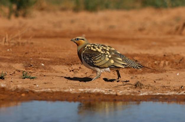 Männchen des nadelschwanz-sandhuhns, das in einer steppe von aragon, spanien, in einem wasserbecken im sommer trinkt