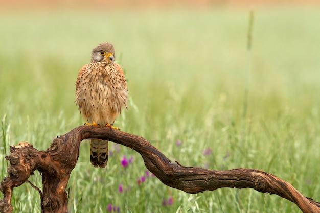 Männchen des turmfalken, des falken, der vögel, des falken, des raubvogels, des falco tinnunculus
