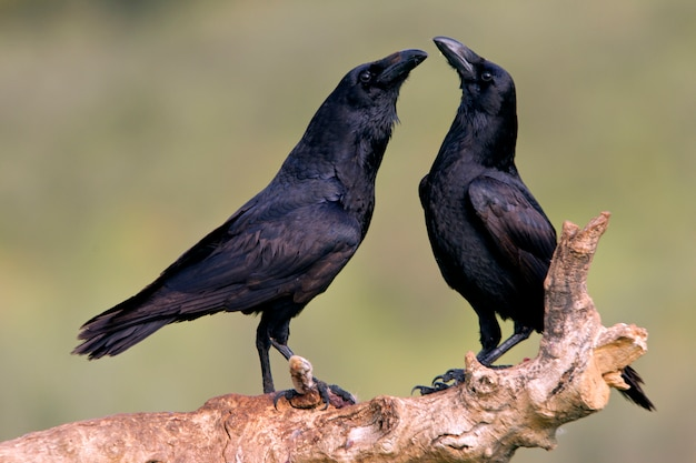 Männchen und weibchen des gemeinen raben mit den ersten lichtern des tages in der paarungszeit, rabe, krähe, vögel, corvus corax