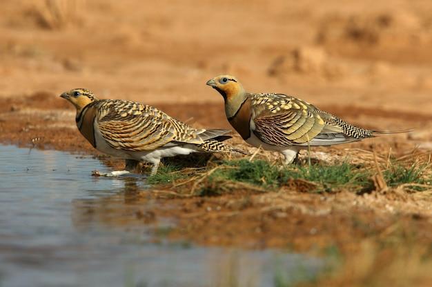 Männchen und weibchen des nadelschwanzsandhuhns, die im sommer in einer steppe von aragon, spanien, in einem wasserbecken trinken