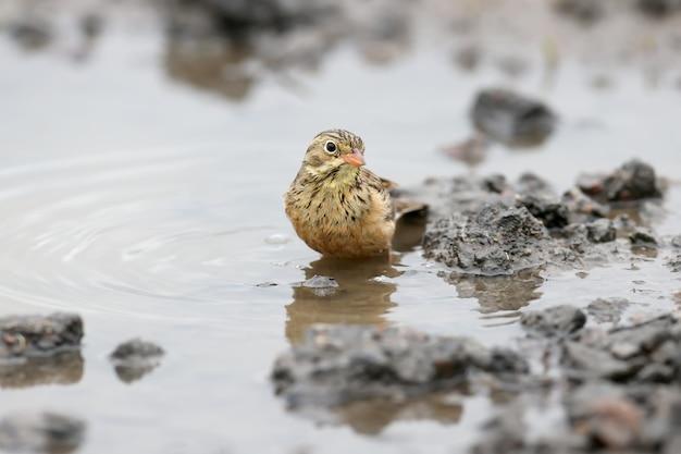 Männchen und weibchen eine ortolanische ammer, die in einer pfütze auf der straße schwimmt und federn trocknet. lustige bilder aus der nähe