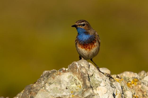 Männchen von bluethroat mit dem gefieder der paarungszeit, vögel, singvögel, luscinea svecica