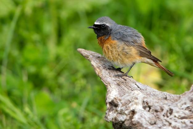 Männchen von common redstart mit den letzten lichtern des nachmittags, vögel, phoenicurus phoenicurus