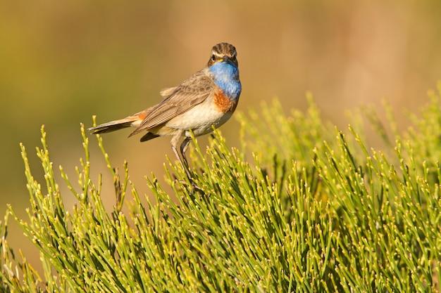 Männchen von männchen von blaukehlchen mit dem gefieder der paarungszeit, vögel, singvögel, luscinea svecica