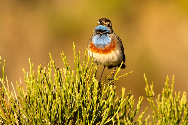 Männchen von männchen von blaukehlchen singin mit dem gefieder der paarungszeit, vögel, singvögel, luscinea svecica
