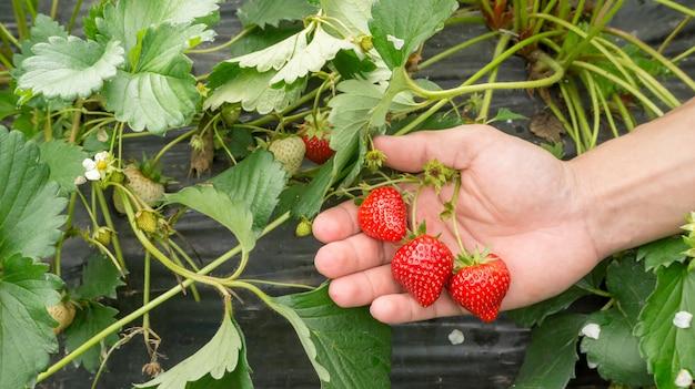 Männer pflücken eine rote erdbeerfrucht.