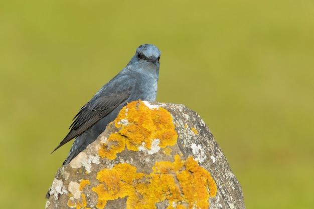 Männliche blaue felsdrossel im brunftgefieder auf seinem lieblingsbarsch in der natur mit dem ersten licht der morgendämmerung