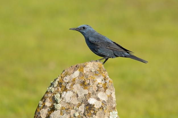 Männliche blaue felsdrossel mit brunftgefieder in der natur