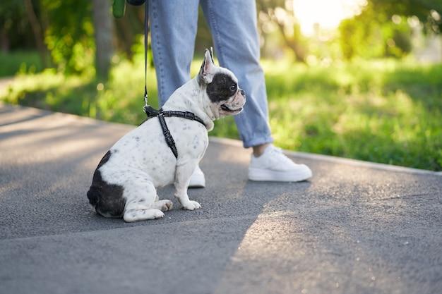 Männliche französische bulldogge, die sich auf der straße im park ausruht