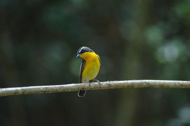 Männliche gelbe rumped flycatcher (ficedula zanthopygia)