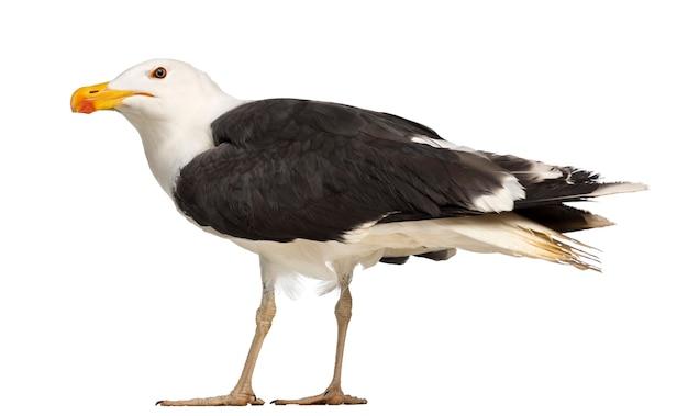 Männliche great black-backed gull, larus marinus, gegen weiße oberfläche