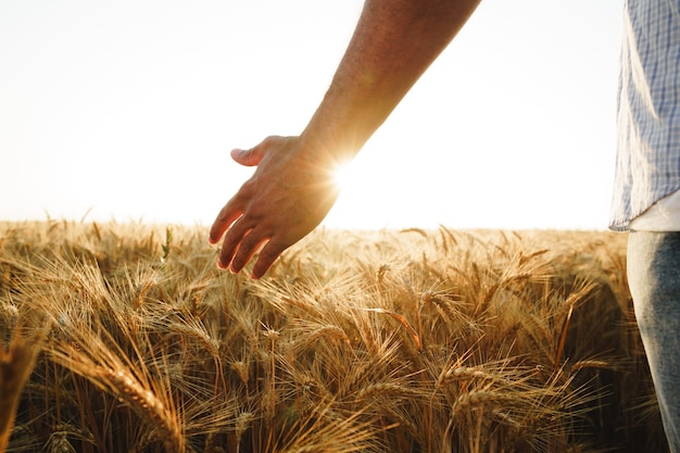 Männliche hand berührt weizenähren auf dem feld bei sonnenuntergang