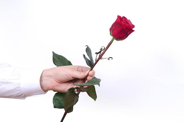 Männliche hand, die eine einzelne rote rose lokalisiert auf weißem hintergrund hält.