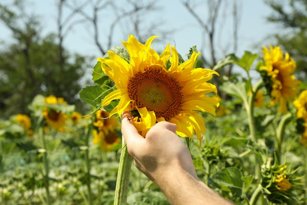 Männliche hand hält sonnenblume.