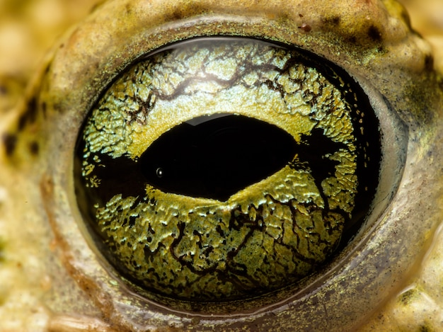Männliche kreuzkröte (epidalea calamita)