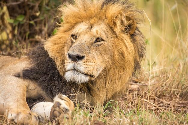Männliche löwennahaufnahme