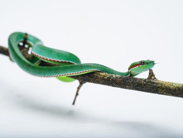 Männliche papst-grubenotter (trimeresurus popeorum)