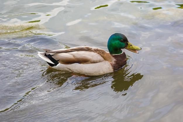 Männliche stockente, die im teich schwimmt.