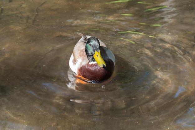 Männliche stockente, die in einem klaren wasserteich schwimmt, während sie nach nahrung sucht