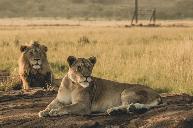 Männliche und weibliche löwen, die auf dem sand liegen und sich ausruhen