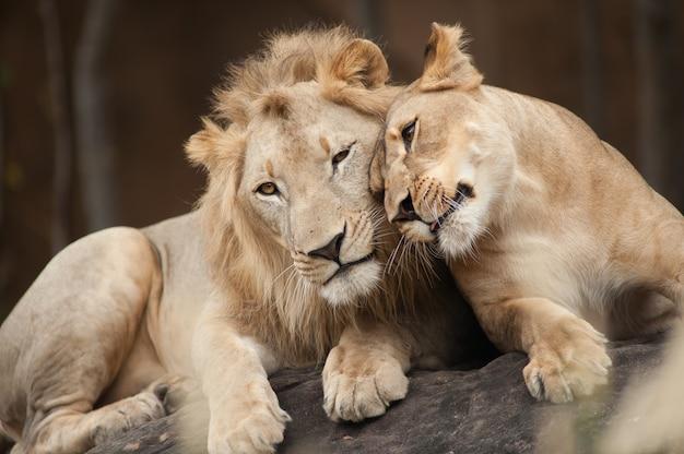 Männliche und weibliche löwen