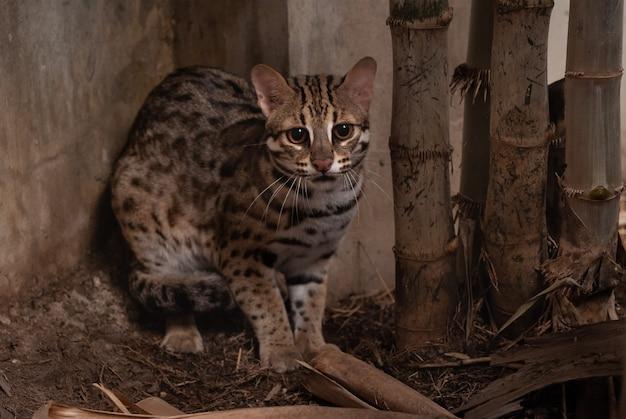 Männlicher abschluss der leopardkatze (prionailurus bengalensis) oben im zoo.