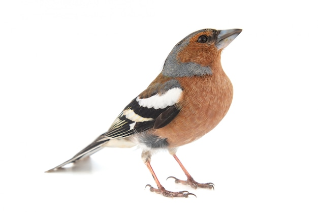 Männlicher buchfink, fringilla-coelebs isoliert auf weiß
