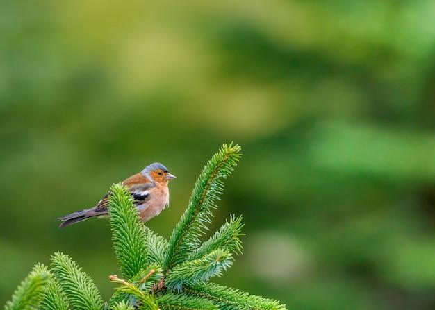 Männlicher buchfink thront auf grünem kiefernzweig