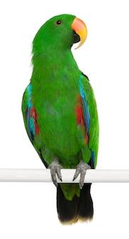 Männlicher eclectus papagei eclectus roratus hockend isoliert