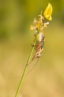 Männlicher epiphyt oder große heuschrecke auf einem besenstiel in freier wildbahn