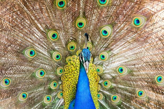 Männlicher indischer peafowl