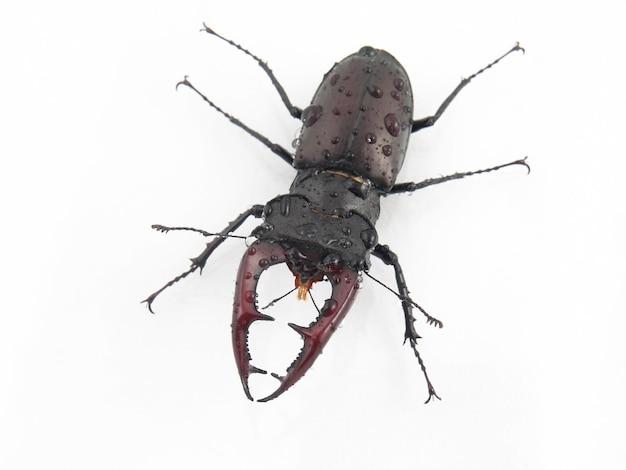 Männlicher insektenkäferhirsch mit geweih auf weiß