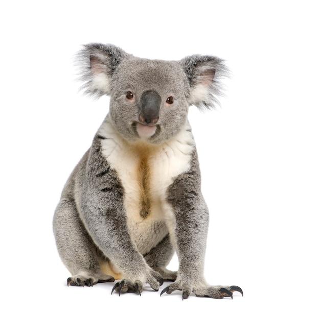 Männlicher koala - phascolarctos cinereus