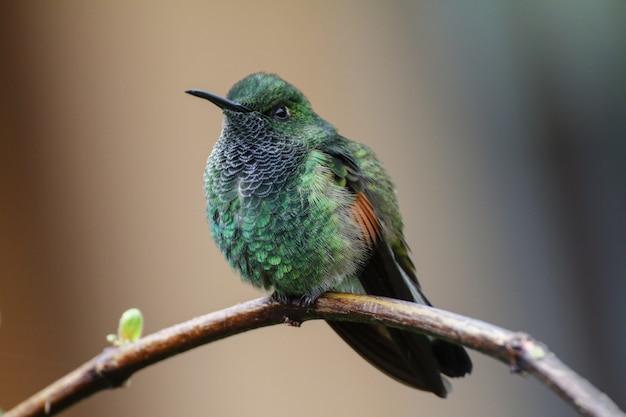 Männlicher kolibri mit streifenschwanz eupherusa eximia